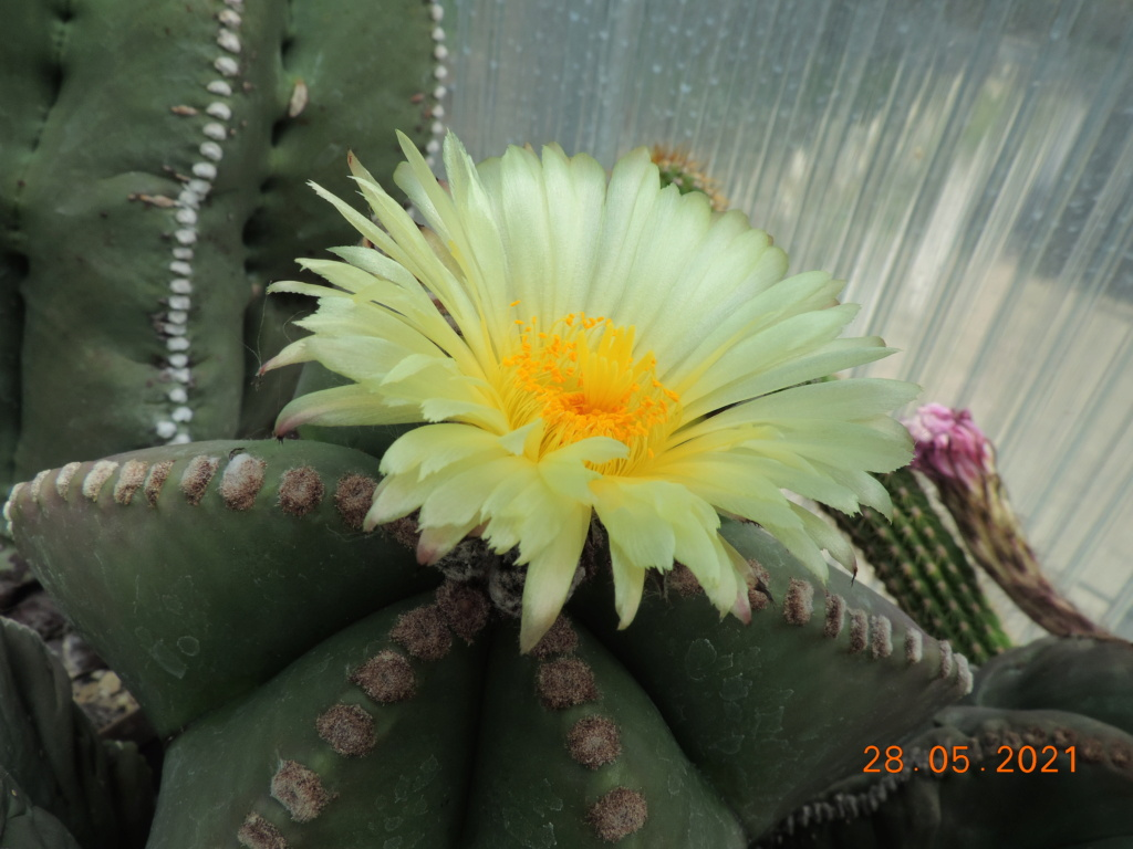 Cacti and Sukkulent in Köln, every day new flowers in the greenhouse Part 260 Bild7977