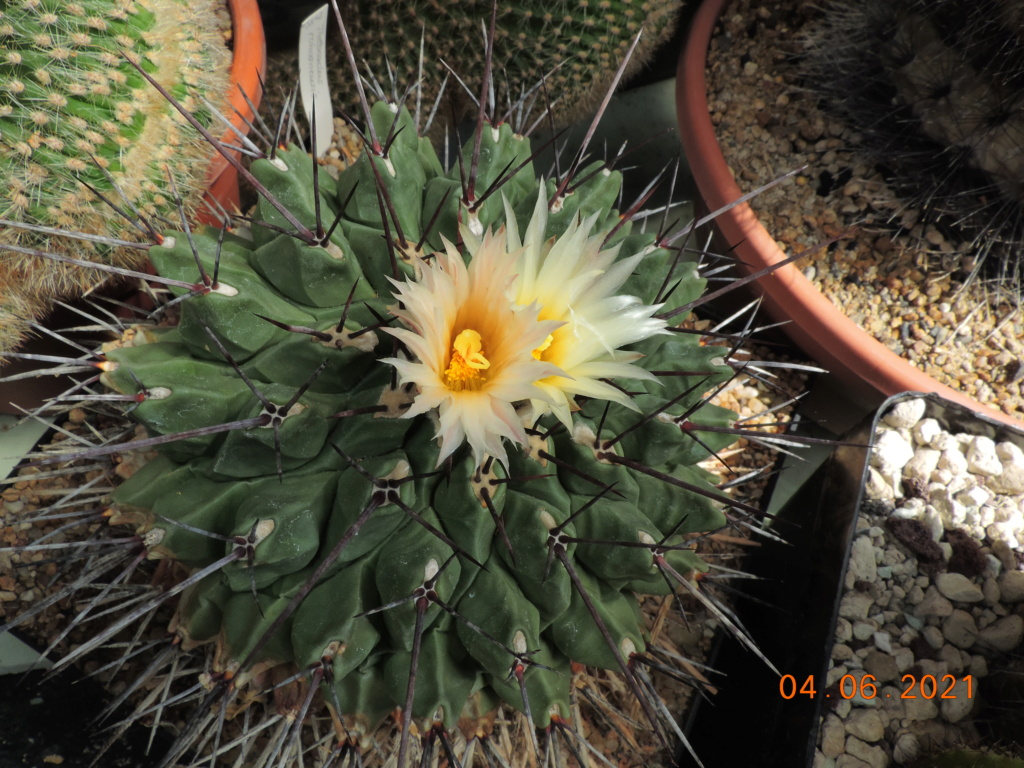 Cacti and Sukkulent in Köln, every day new flowers in the greenhouse Part 260 Bild7983