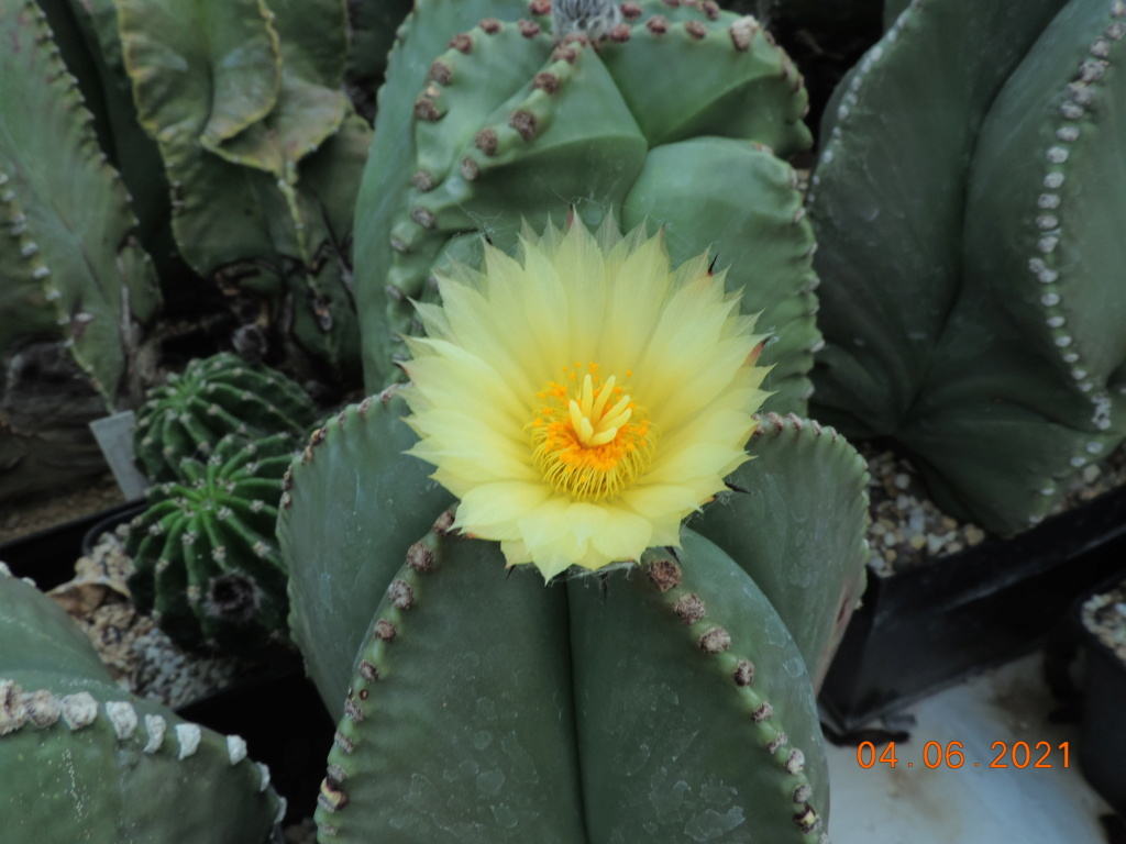 Cacti and Sukkulent in Köln, every day new flowers in the greenhouse Part 260 Bild7984