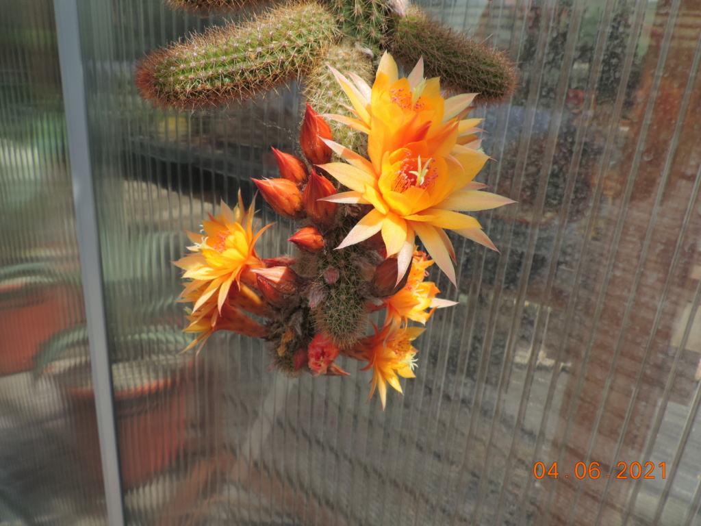 Cacti and Sukkulent in Köln, every day new flowers in the greenhouse Part 260 Bild7991