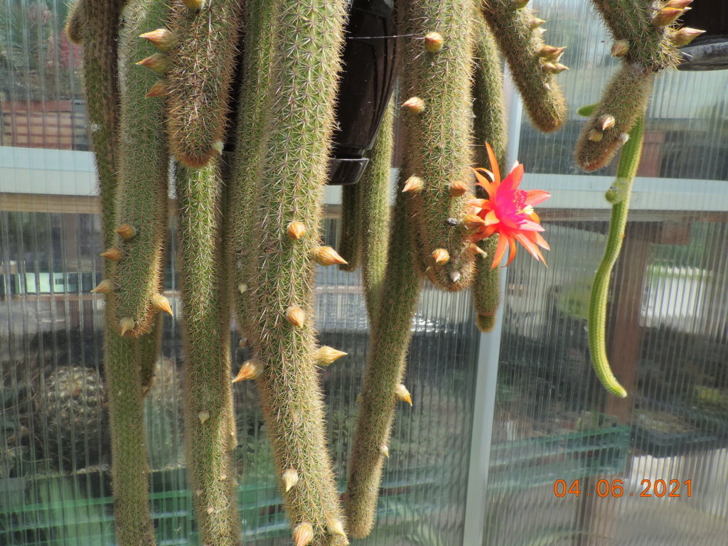 Cacti and Sukkulent in Köln, every day new flowers in the greenhouse Part 260 Bild7992