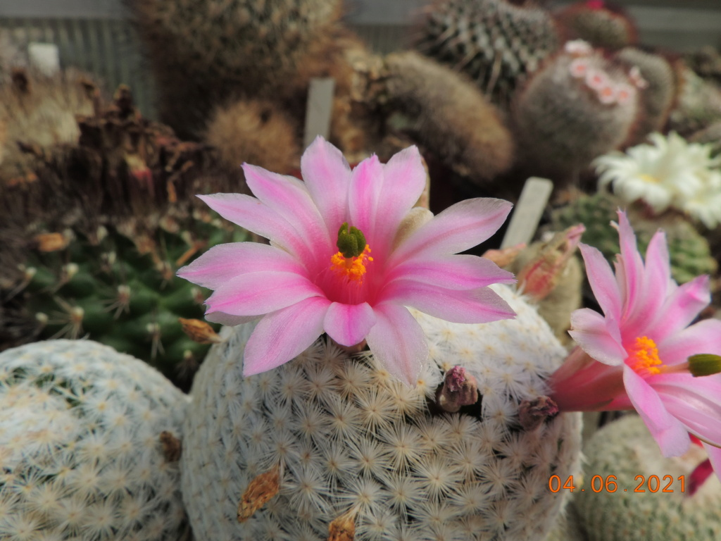 Cacti and Sukkulent in Köln, every day new flowers in the greenhouse Part 260 Bild7994