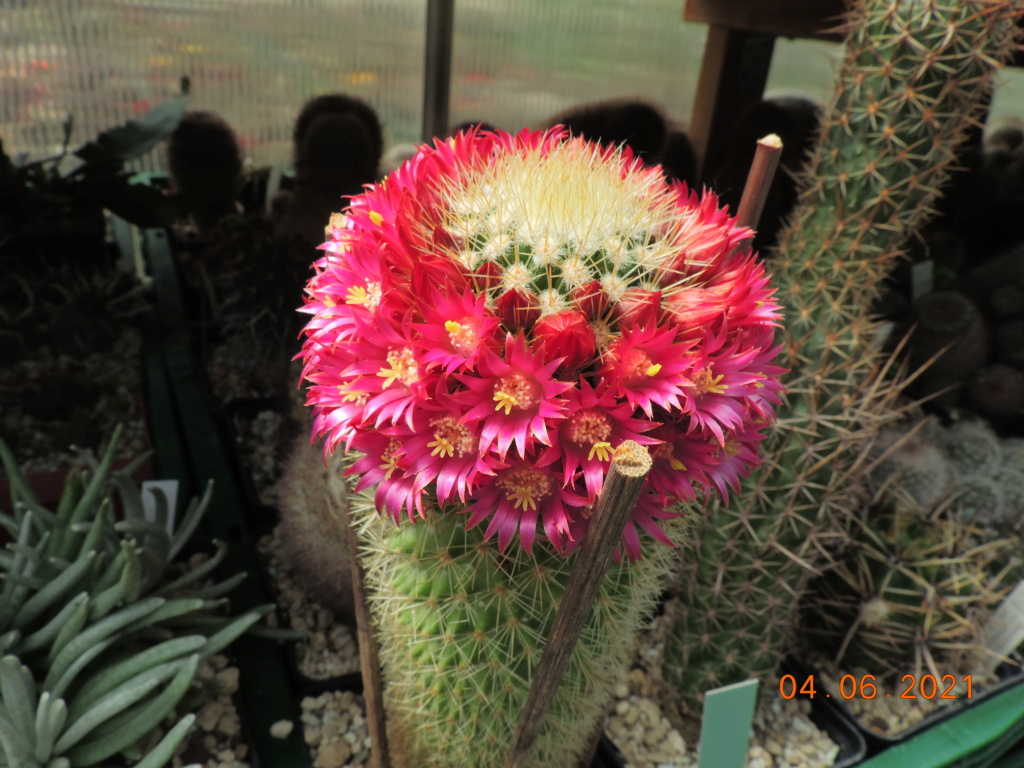 Cacti and Sukkulent in Köln, every day new flowers in the greenhouse Part 260 Bild7996