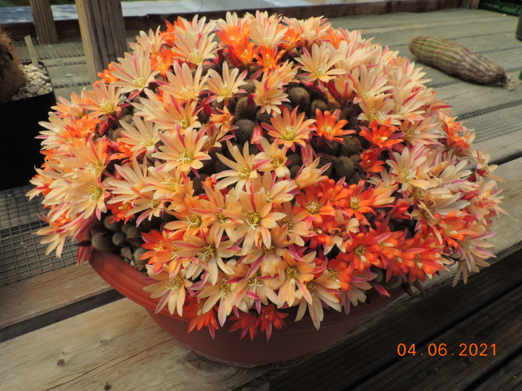 Cacti and Sukkulent in Köln, every day new flowers in the greenhouse Part 260 Bild7998
