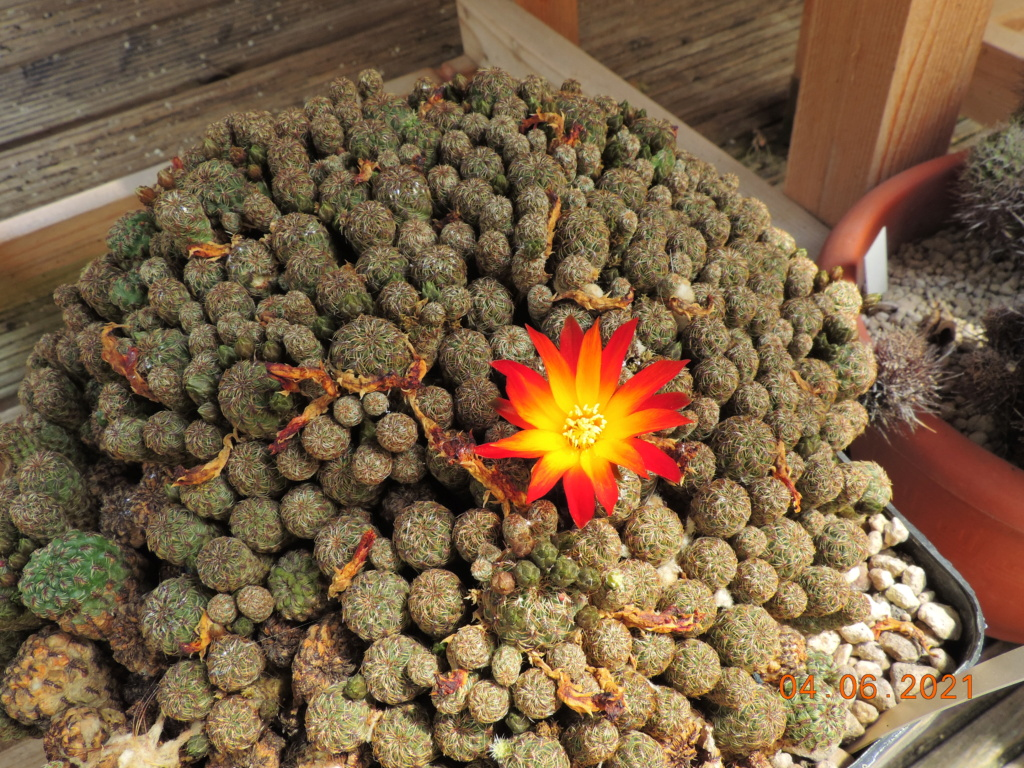 Cacti and Sukkulent in Köln, every day new flowers in the greenhouse Part 260 Bild7999