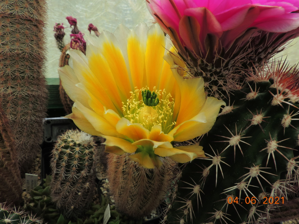 Cacti and Sukkulent in Köln, every day new flowers in the greenhouse Part 260 Bild8006