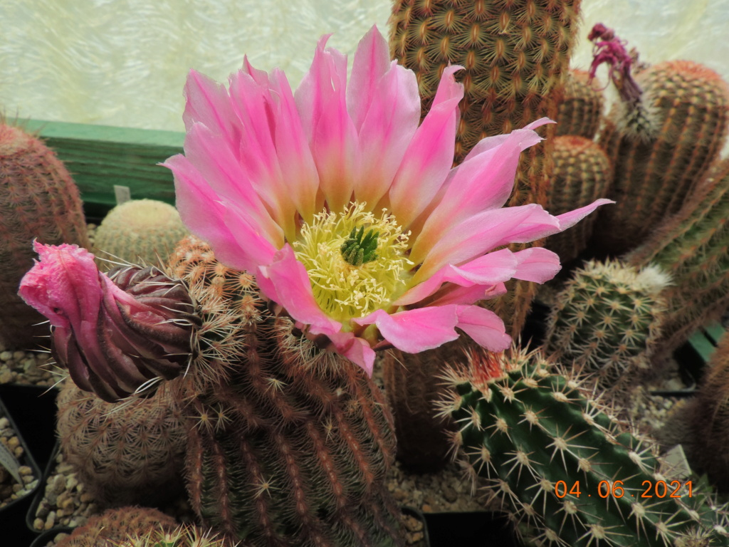 Cacti and Sukkulent in Köln, every day new flowers in the greenhouse Part 260 Bild8007