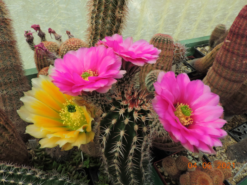Cacti and Sukkulent in Köln, every day new flowers in the greenhouse Part 260 Bild8008