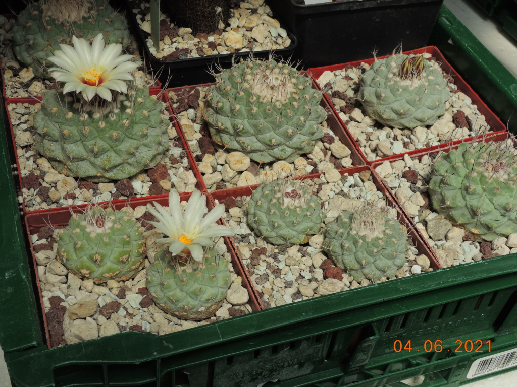 Cacti and Sukkulent in Köln, every day new flowers in the greenhouse Part 260 Bild8011