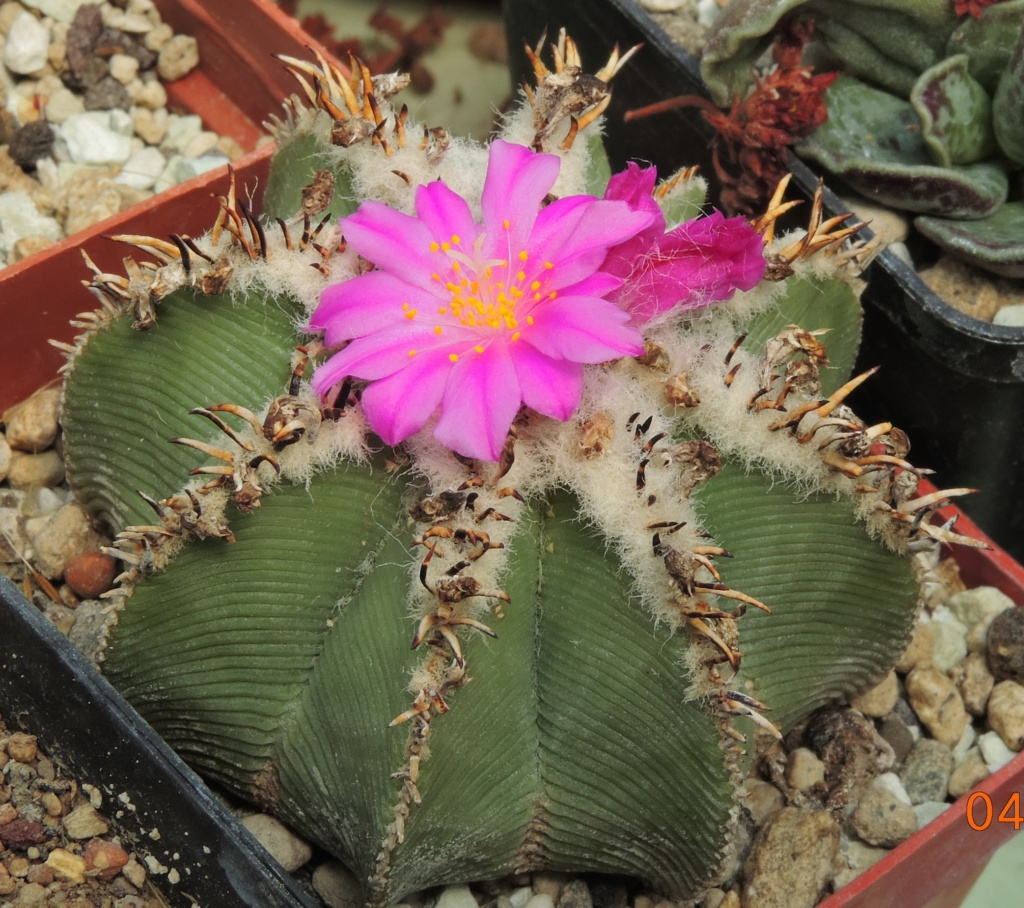 Cacti and Sukkulent in Köln, every day new flowers in the greenhouse Part 260 Bild8012