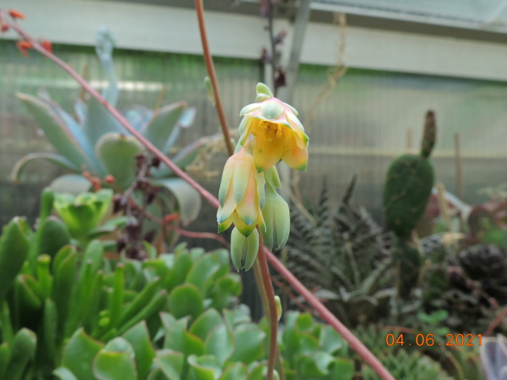 Cacti and Sukkulent in Köln, every day new flowers in the greenhouse Part 260 Bild8015