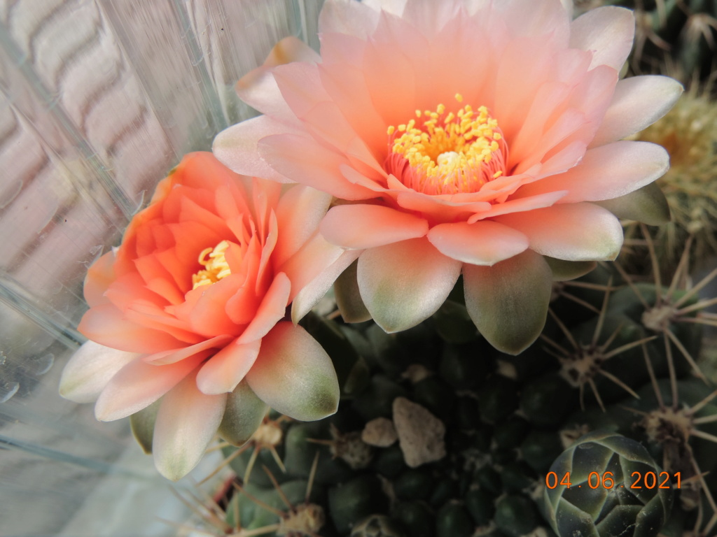 Cacti and Sukkulent in Köln, every day new flowers in the greenhouse Part 260 Bild8023