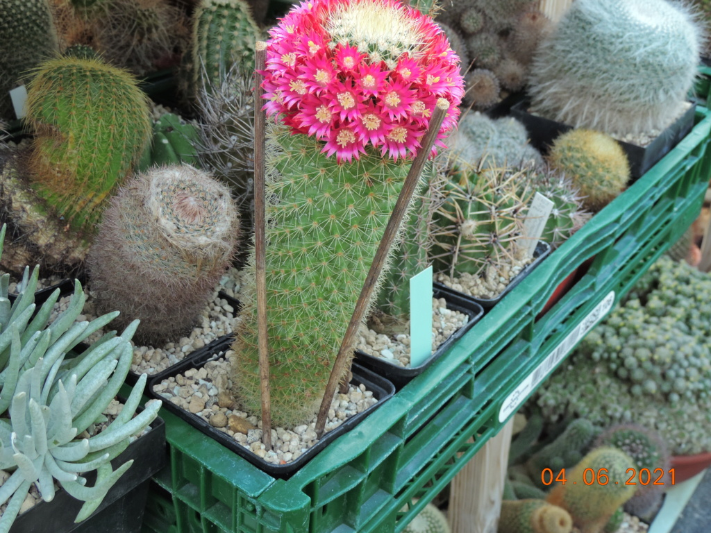 Cacti and Sukkulent in Köln, every day new flowers in the greenhouse Part 260 Bild8024