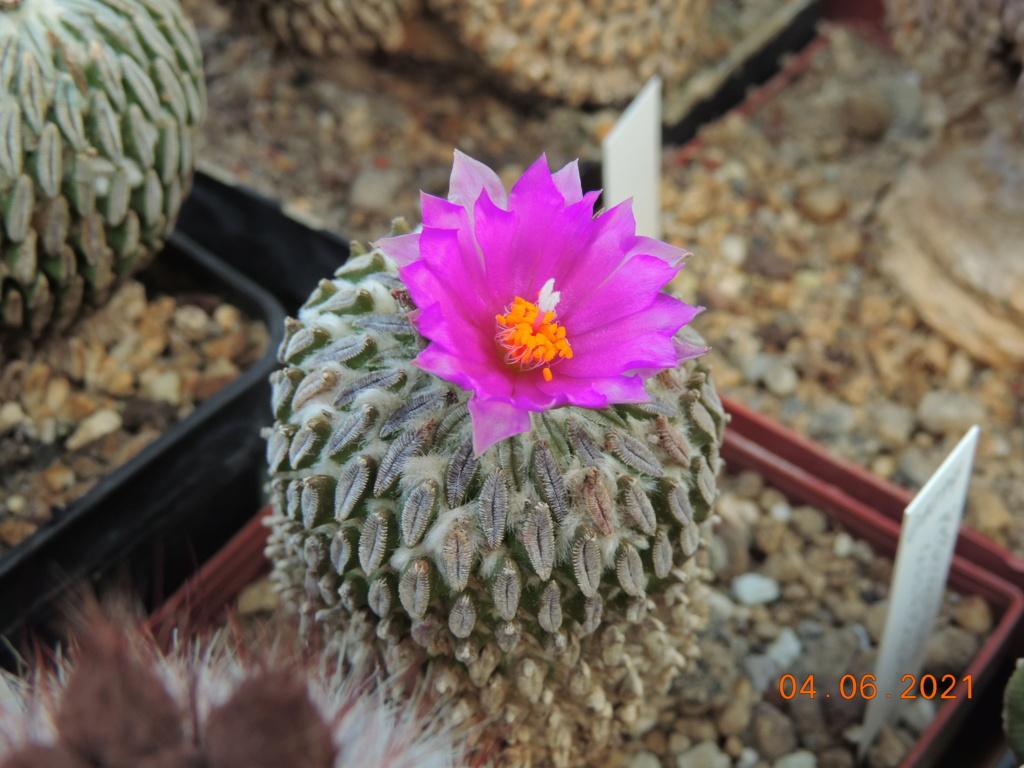 Cacti and Sukkulent in Köln, every day new flowers in the greenhouse Part 260 Bild8026
