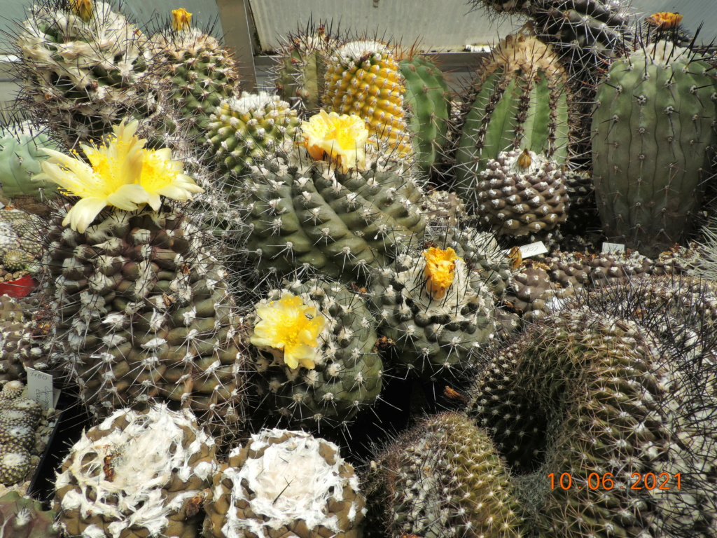 Cacti and Sukkulent in Köln, every day new flowers in the greenhouse Part 260 Bild8031