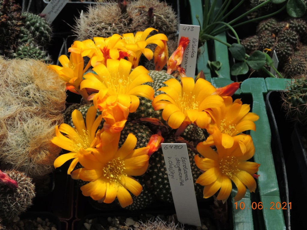 Cacti and Sukkulent in Köln, every day new flowers in the greenhouse Part 260 Bild8033