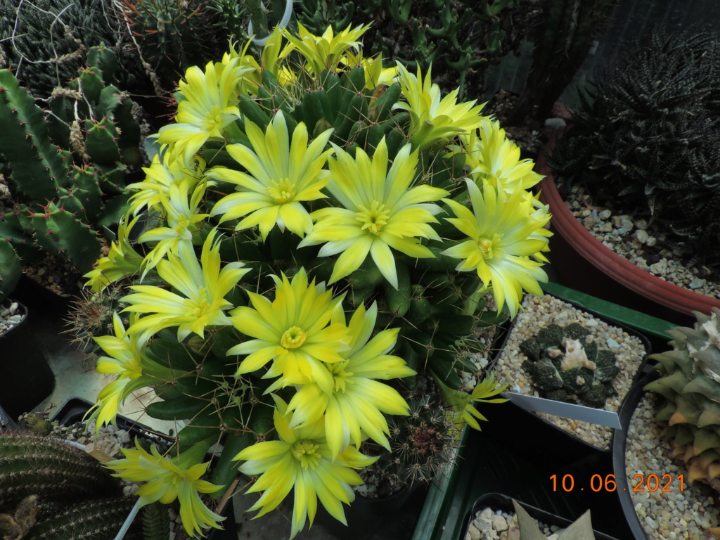Cacti and Sukkulent in Köln, every day new flowers in the greenhouse Part 260 Bild8035