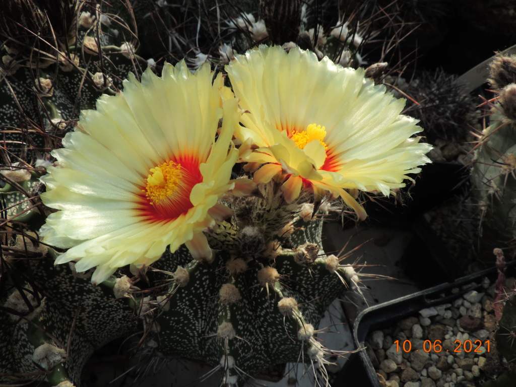 Cacti and Sukkulent in Köln, every day new flowers in the greenhouse Part 260 Bild8037