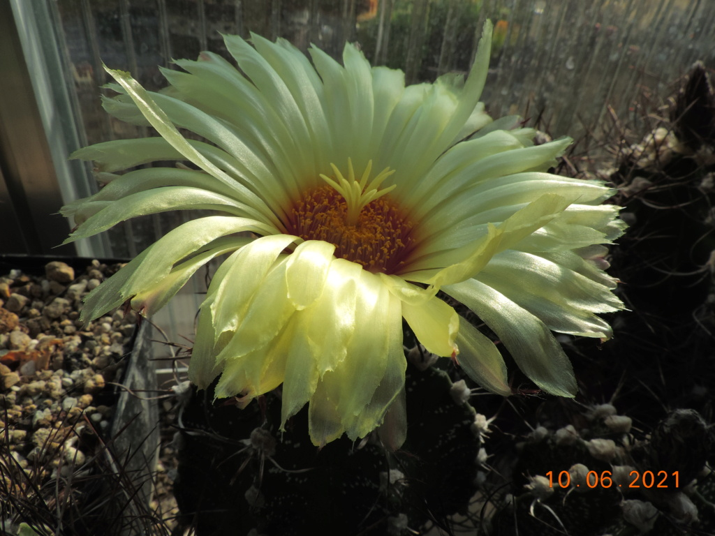Cacti and Sukkulent in Köln, every day new flowers in the greenhouse Part 260 Bild8038