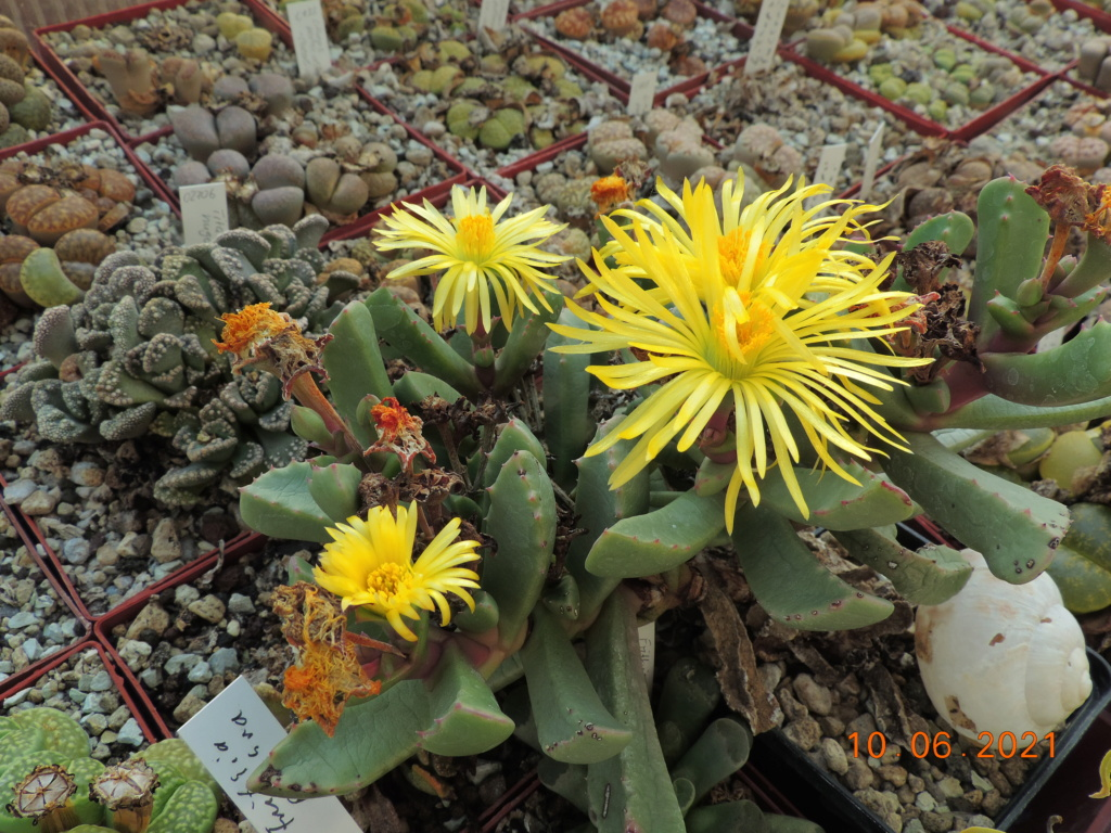 Cacti and Sukkulent in Köln, every day new flowers in the greenhouse Part 260 Bild8039