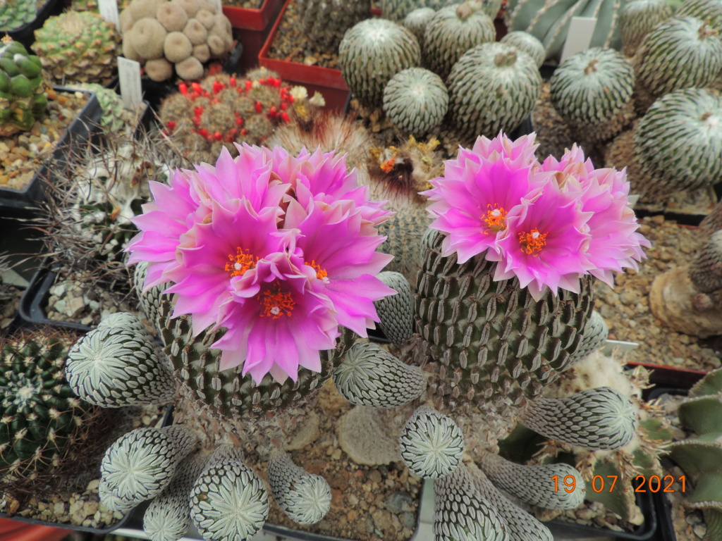 Cacti and Sukkulent in Köln, every day new flowers in the greenhouse Part 264 Bild8366