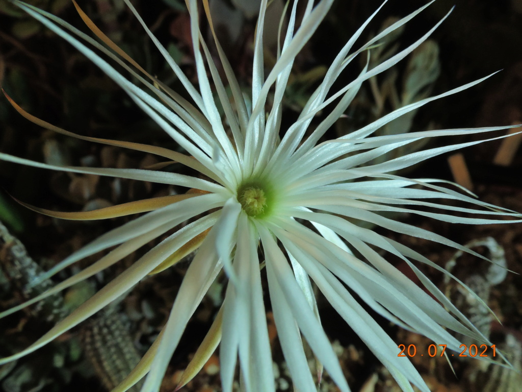 Cacti and Sukkulent in Köln, every day new flowers in the greenhouse Part 264 Bild8370