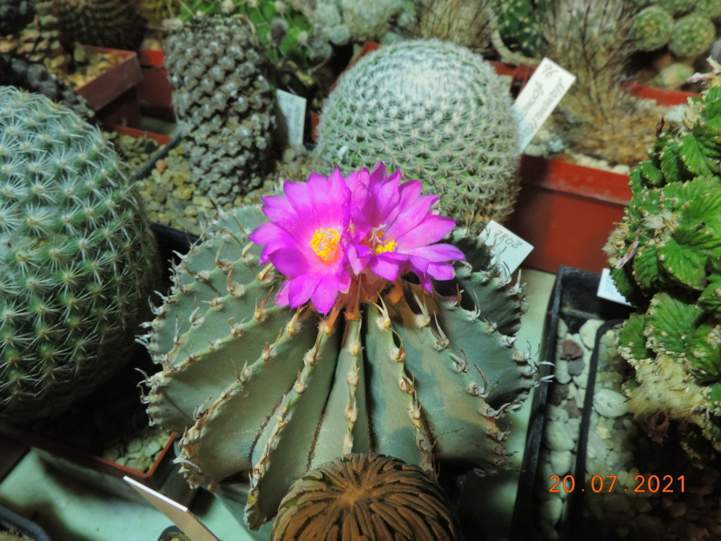 Cacti and Sukkulent in Köln, every day new flowers in the greenhouse Part 264 Bild8371