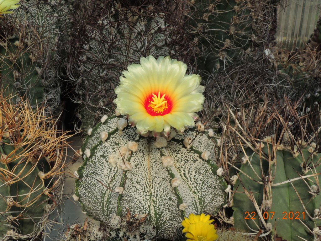 Cacti and Sukkulent in Köln, every day new flowers in the greenhouse Part 264 Bild8376