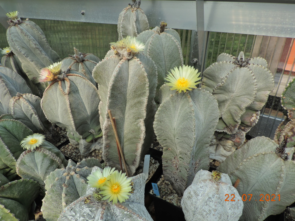 Cacti and Sukkulent in Köln, every day new flowers in the greenhouse Part 264 Bild8380
