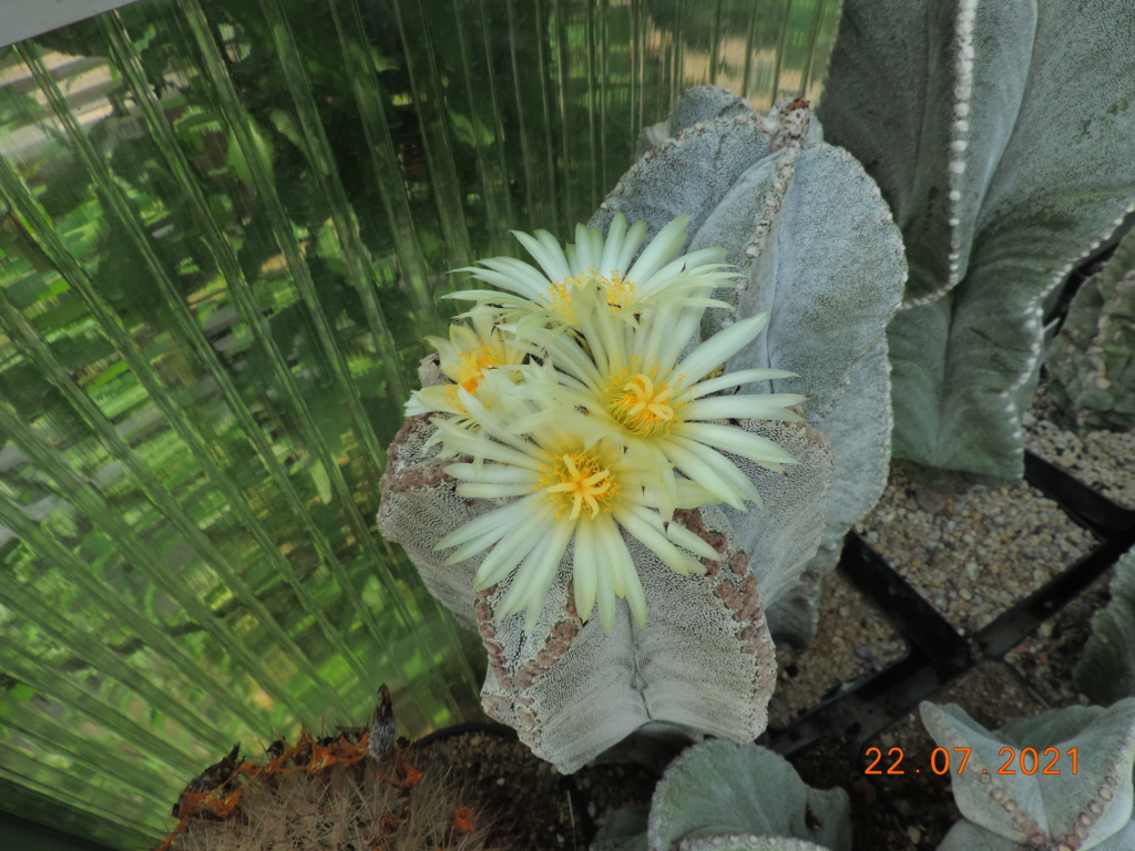 Cacti and Sukkulent in Köln, every day new flowers in the greenhouse Part 264 Bild8382