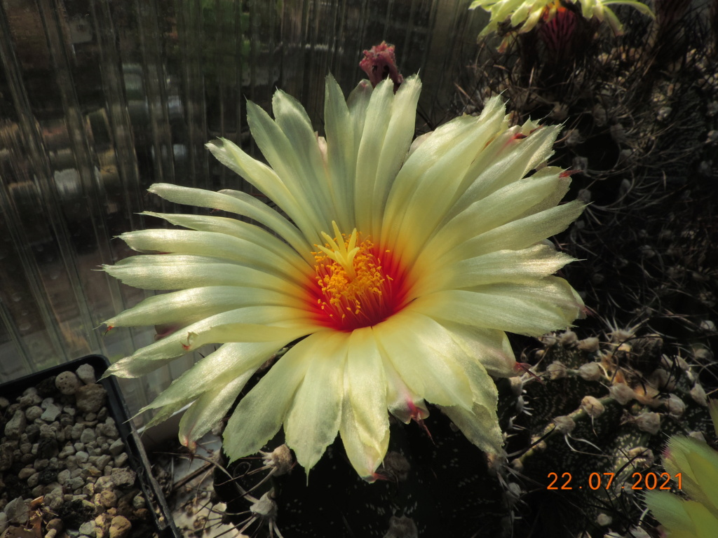 Cacti and Sukkulent in Köln, every day new flowers in the greenhouse Part 264 Bild8387
