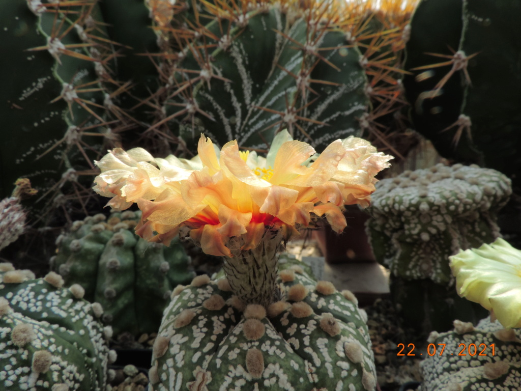 Cacti and Sukkulent in Köln, every day new flowers in the greenhouse Part 264 Bild8390