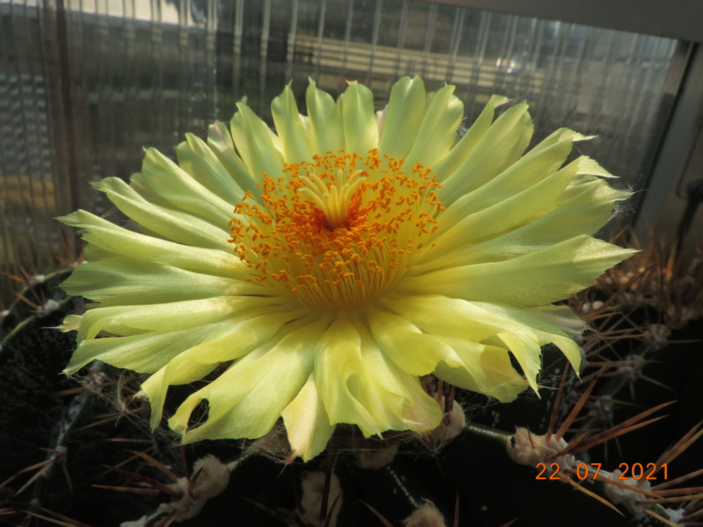 Cacti and Sukkulent in Köln, every day new flowers in the greenhouse Part 264 Bild8391