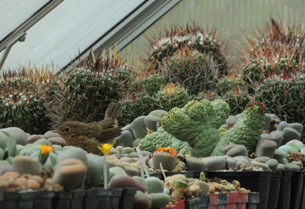 Cacti and Sukkulent in Köln, every day new flowers in the greenhouse Part 267 Bild8708