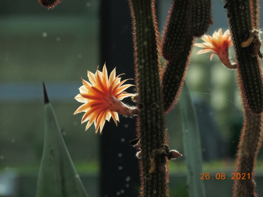 Cacti and Sukkulent in Köln, every day new flowers in the greenhouse Part 267 Bild8714