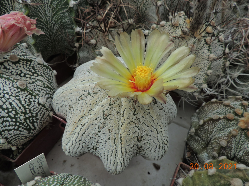 Cacti and Sukkulent in Köln, every day new flowers in the greenhouse Part 267 Bild8719