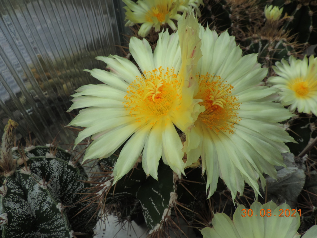 Cacti and Sukkulent in Köln, every day new flowers in the greenhouse Part 267 Bild8723