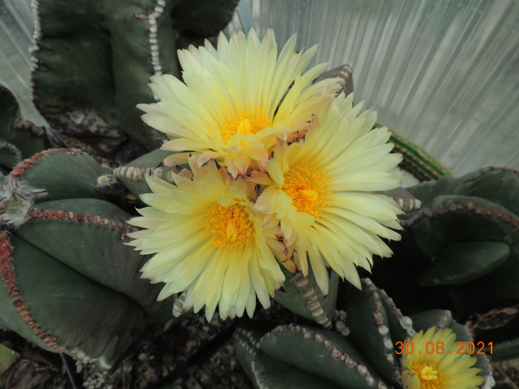 Cacti and Sukkulent in Köln, every day new flowers in the greenhouse Part 267 Bild8727