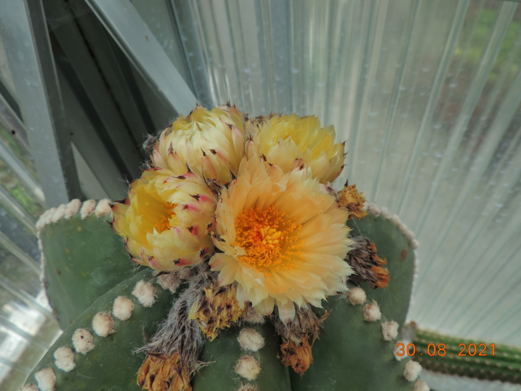 Cacti and Sukkulent in Köln, every day new flowers in the greenhouse Part 267 Bild8728