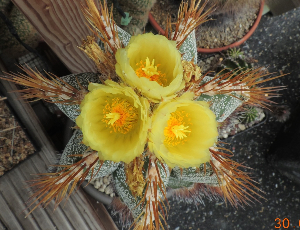Cacti and Sukkulent in Köln, every day new flowers in the greenhouse Part 267 Bild8747