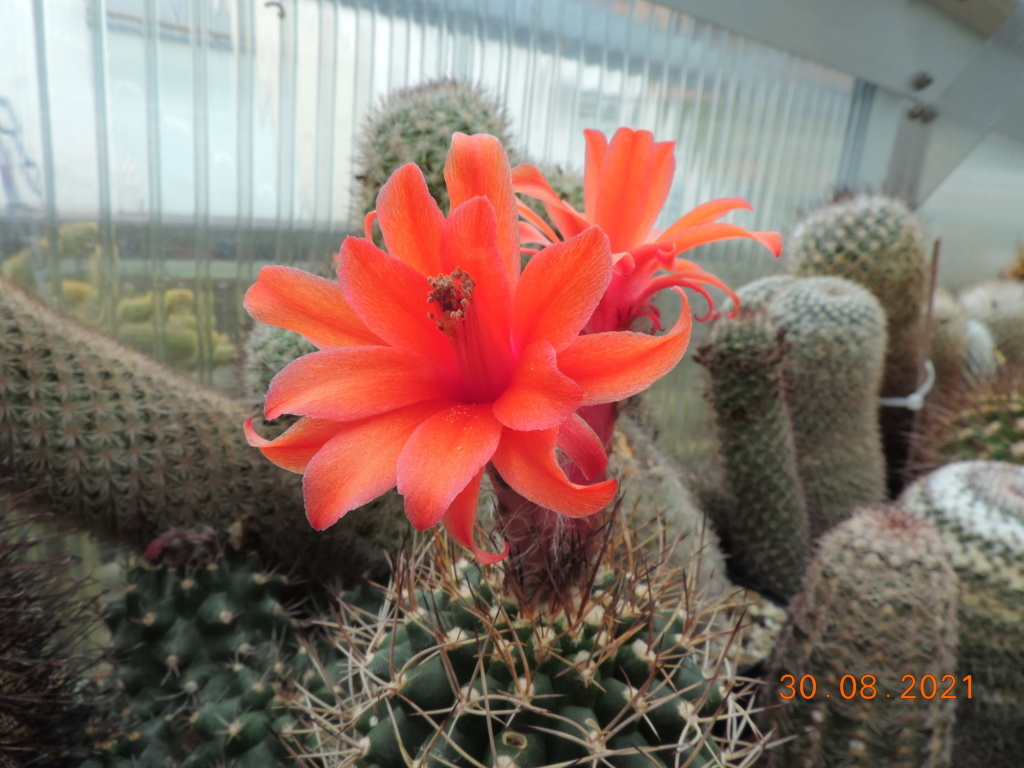 Cacti and Sukkulent in Köln, every day new flowers in the greenhouse Part 267 Bild8756