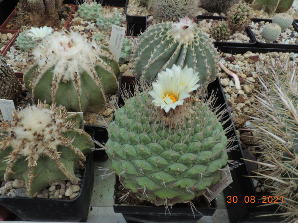 Cacti and Sukkulent in Köln, every day new flowers in the greenhouse Part 267 Bild8761