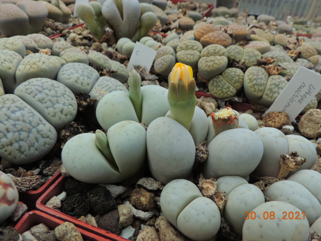 Cacti and Sukkulent in Köln, every day new flowers in the greenhouse Part 267 Bild8774