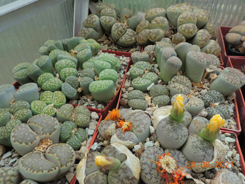 Cacti and Sukkulent in Köln, every day new flowers in the greenhouse Part 267 Bild8775