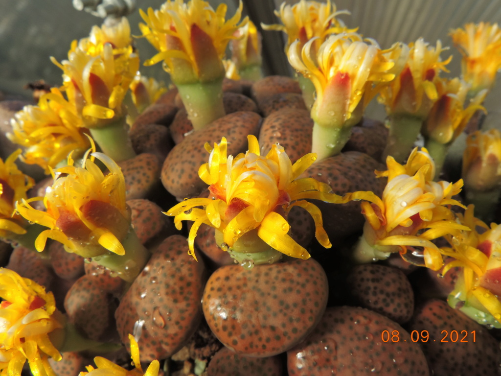 Cacti and Sukkulent in Köln, every day new flowers in the greenhouse Part 267 Bild8785
