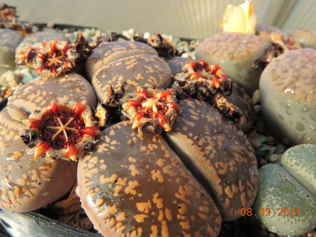 Cacti and Sukkulent in Köln, every day new flowers in the greenhouse Part 267 Bild8788