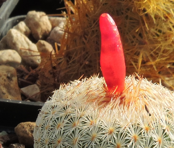 Cacti and Sukkulent in Köln, every day new flowers in the greenhouse Part 267 Bild8799