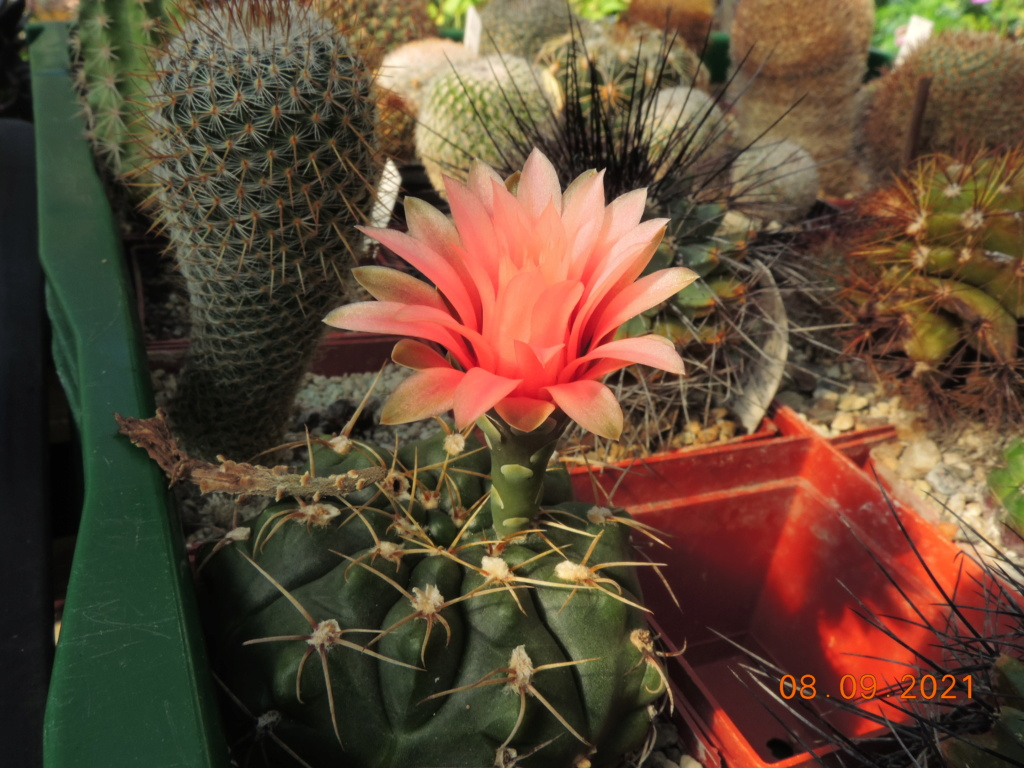 Cacti and Sukkulent in Köln, every day new flowers in the greenhouse Part 267 Bild8814