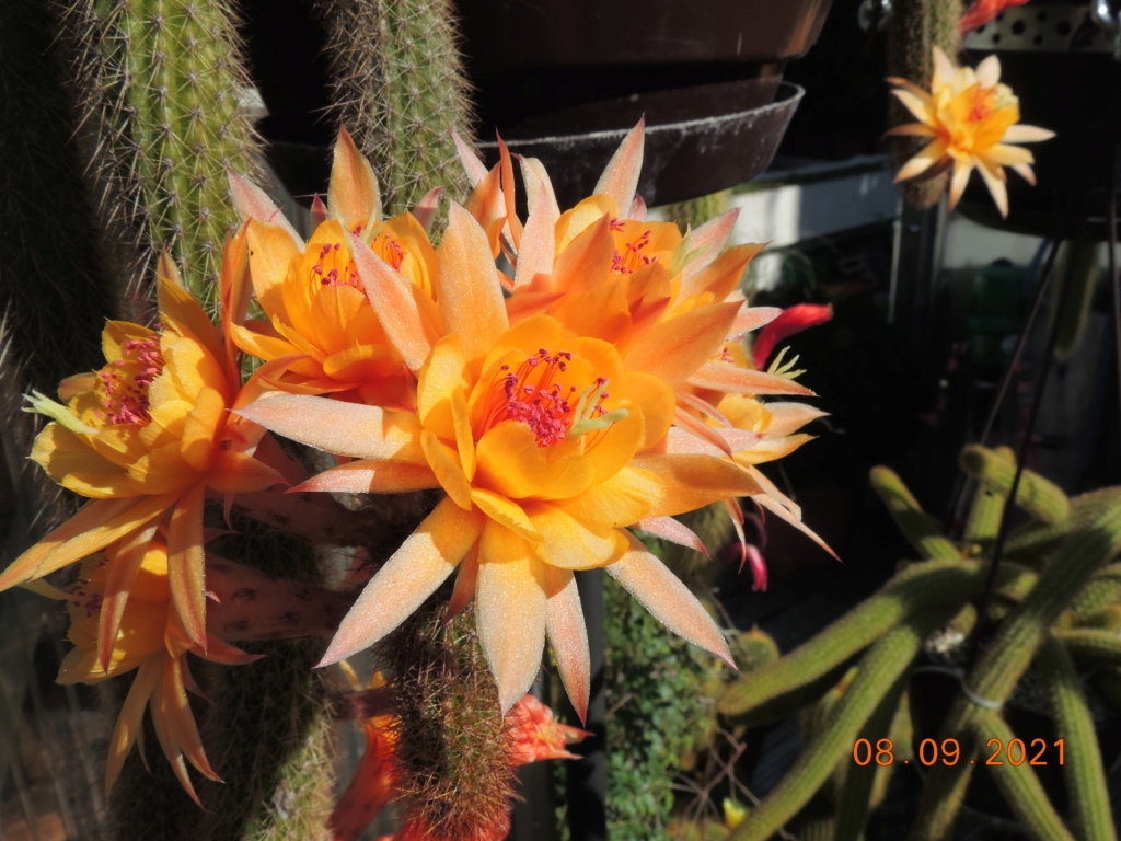 Cacti and Sukkulent in Köln, every day new flowers in the greenhouse Part 267 Bild8816