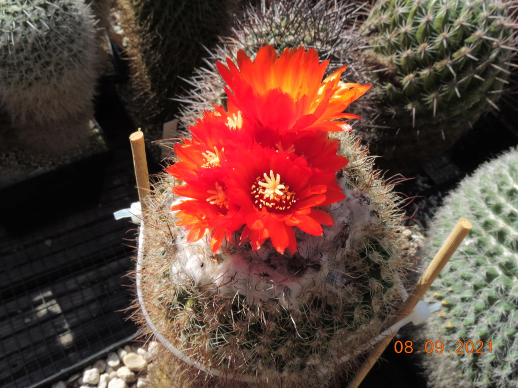 Cacti and Sukkulent in Köln, every day new flowers in the greenhouse Part 267 Bild8820